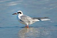 A Forster's tern in winter plumage on Fernandina Beach, Florida.