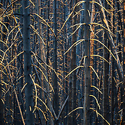 Burned lodgepole pines near Yellowstone Lake from a massive summer wildfire.