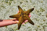 Tanzanie, archipel de Zanzibar, île de Unguja (Zanzibar), plage de Nungwi, etoile de mer // Tanzania, Zanzibar island, Unguja, Nungwi beach, starfish
