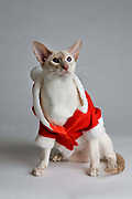 Toy Boy, wearing a Santa outfit, owner Christine Hardy.<br /> Breed; Siamese