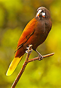 Costa Rica, Montezuma oropendola, Psarocolius montezuma, Arenal Observatory Hotel,