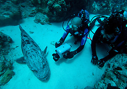 """Two scuba divers are visited by """"Cuddles"""", a large and friendly Potato Cod at Cod Hole.  The Potato cod (Epinephalus tukula) is a protected species."""