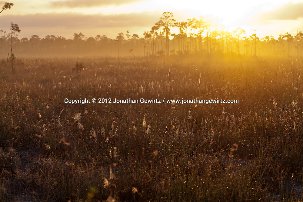 The rising sun highlights dew-covered spider webs in a foggy sawgrass meadow in Everglades National Park, Florida. WATERMARKS WILL NOT APPEAR ON PRINTS OR LICENSED IMAGES.<br /> <br /> Licensing: https://tandemstock.com/assets/99204924