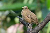 Clay-colored Thrush, Turdus grayi, perched on a branch in Sarapiquí, Costa Rica