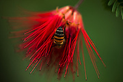 A bee scours the bloom of a Baja Fairy Duster for nectar at the Desert Botanical Garden in Phoenix, Arizona. (Bettina Hansen / The Seattle Times)