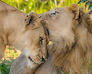 Lioness greets and rubs her two year old son affectionately. Two other sons had become independent. Phinda Game Reserve, South Africa. © David A. Ponton