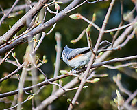 Tufted Titmouse. Image taken with a Nikon D300 camera and 80-400 mm VR lens (ISO 320, 400 mm, f/5.6, 1/250 sec).