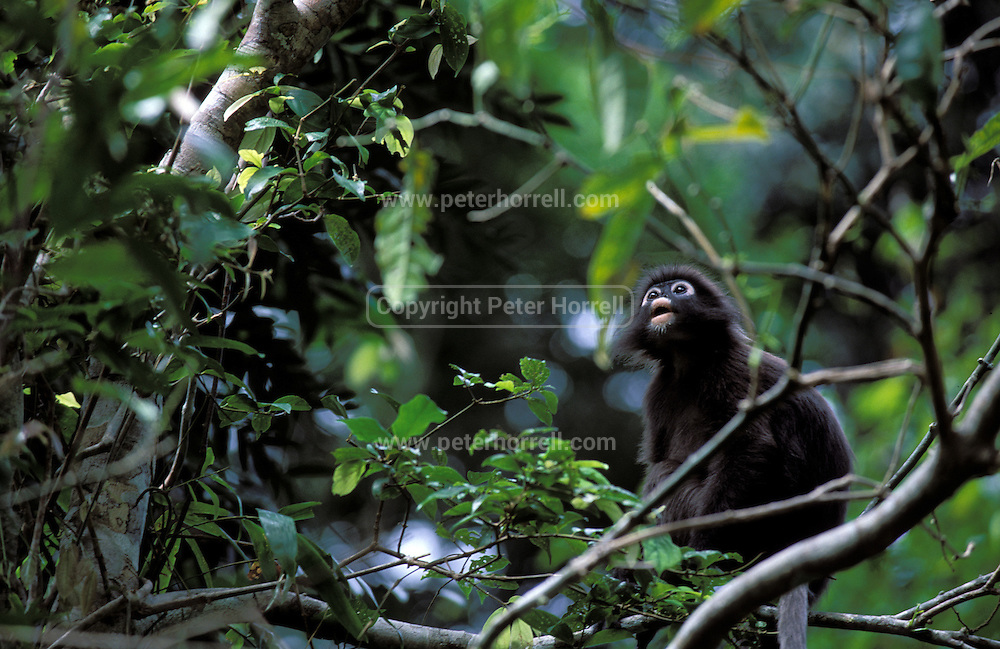 A Dusky Leaf Monkey aka Spectacled Langur (Presbytis obscurus) sits on a branch looking upwards in the rainforest in Langkawi.