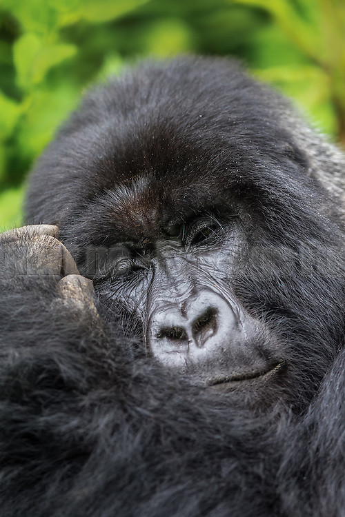 Vain Gorilla picks on himself. Rwanda-Volcano National Park. Wildlife   Forfengelig Gorilla plukker på seg selv. Volcano National Park, Rwanda. Ville dyr.