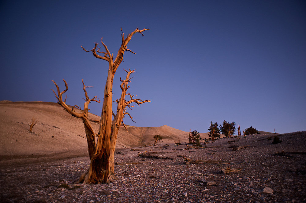 The Bristlecone Pine trees are thought to be the oldest living organisms on earth, living to well over 4,000 years. Because the grow in dry soils and amidst cold winds they grow very slowly and the wood is extremely dense.  This image was made at dawn in the Patriarch Grove.