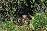 Brown bear cubs look out from the grass together at the McNeil River State Game Sanctuary on the Kenai Peninsula, Alaska. The remote site is accessed only with a special permit and is the world's largest seasonal population of brown bears in their natural environment.