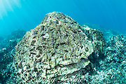 a large head of lobe coral, Porites lobata, has died, likely from the 2015 bleaching event, and has a light coat of green algae and scrape marks from the beaks of parrotfish and puffers feeding on the algae; a tiny colony of live coral has recruited and started to grow on the dead coral, but it is bleached white during the summer 2019 marine heat wave, and will likely die; Honaunau Bay, South Kona, Hawaii Island ( the Big Island ) Hawaii, USA ( Central Pacific )