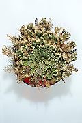 Rose of Jericho in red glass pot