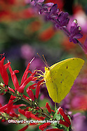03091-00613 Cloudless Sulphur butterfly (Phoebis sennae) female on Pineapple Sage (Salvia elegans) Marion Co. IL
