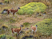 The guanaco (Lama guanicoe) is a camelid native to South America, closely related to the llama. Its name comes from the Quechua word huanaco (modern spelling wanaku). Young guanacos are called chulengos. Neneo (Azorella proflifera; syn. Mulinum spinosum) is a rounded bush with yellow flowers and spiny leaves, typical of the Patagonian steppe and related to fennel. Location: Chacabuco Valley, 180 miles south of Coyhaique, the regional capital of Aysen, in Chile, South America. Patagonia National Park consists of the Tompkins Conservation donation in addition to the former national reserves of Jeinimeni and Tamango, plus fiscal land. Parque Patagonia was created by Conservacion Patagonica, a nonprofit incorporated in California and founded in 2000 by Kris Tompkins. On January 29, 2018, Chilean President Michelle Bachelet and Kris Tompkins signed a decree creating 5 national parks, including Patagonia National Park.