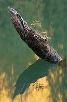 Young spruce grows on dead tree stump, Red Lake, Cheile Bicazului-Hasmas National Park, Carpathians, Transylvania, Romania,