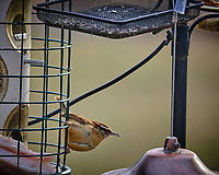 Carolina Wren at a bird feeder with suet. Image taken with a Fuji X-T3 camera and 200 mm f/2 lens and 1.4x teleconverter (ISO 320, 280 mm, f/4.5, 1/500 sec).