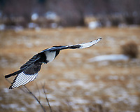 Black-billed Magpie. Rocky Mountain National Park, Moraine Park. Image taken with a Nikon D300 camera and 18-200 mm VR lens (ISO 200, 200 mm, f/5.6, 1/1000 sec).