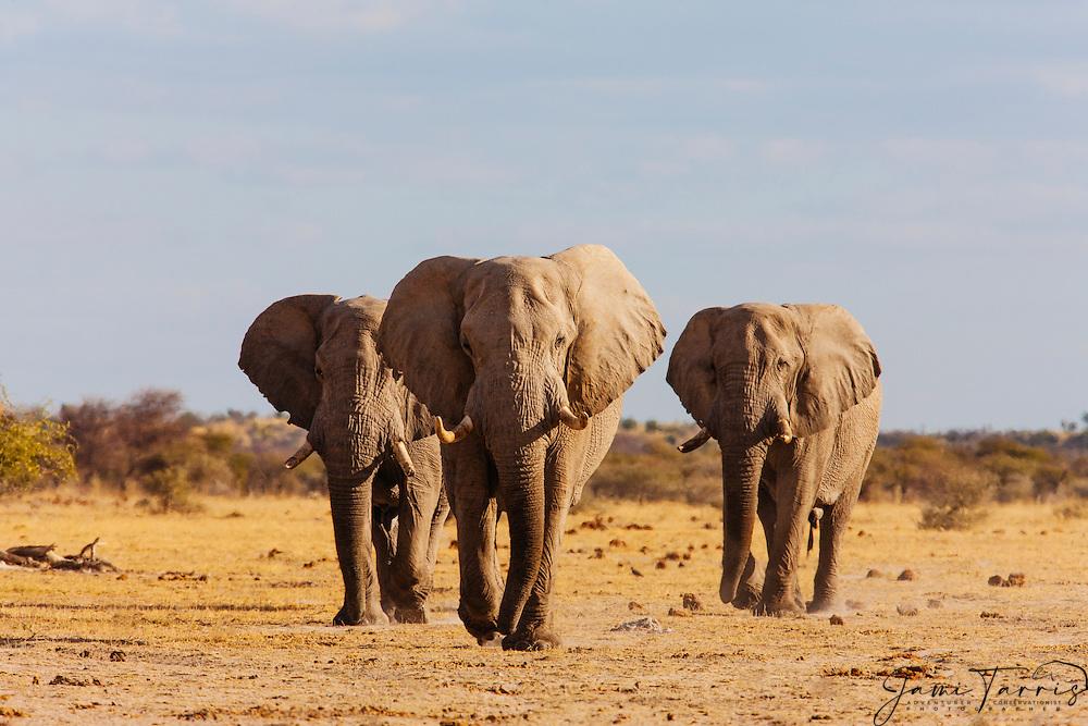 Three old bachelor elephant bulls (Loxodonta africana) slowly make their way to a water hole, Nxai Pan, Botswana, Africa