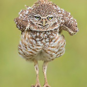 Burrowing owl (Athene cunicularia) rearranges feathers with a thorough shake.