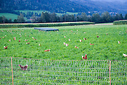 Flock of domestic Free-range chickens (Gallus sp.) feeding in a farm yard Photographed in Tyrol Austria