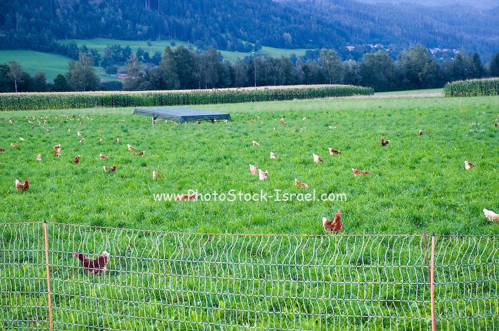 Flock of domestic Free-range chickens (Gallus sp.) feeding in a farm yard Photographed in Tyrol Austria