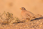 sand partridge (Ammoperdix heyi) is a gamebird in the pheasant family Phasianidae of the order Galliformes, gallinaceous birds. Photographed in Israel in November