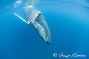 humpback whale, Megaptera novaeangliae, adiult female approaches for a close look, A'u A'u Channel, off West Maui, Hawaii, Hawaii Humpback Whale National Marine Sanctuary, USA ( Central Pacific Ocean )
