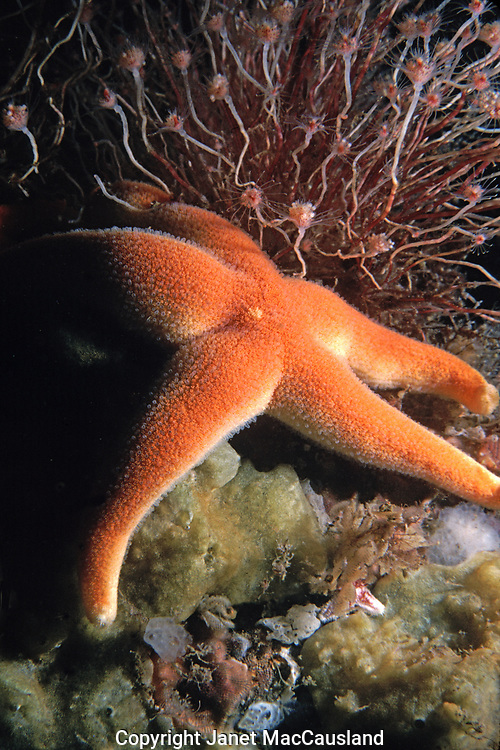 """A single strobe light accentuates the texture of this Blood Stars regular but pebbly skin. They have five arms and range in shades of deep red to white. They are a very pretty animal growing to 4"""" on the Atlantic Coast. This one is feeding on a sponge, but they also absorb nutrients via their porous skin. greenish-tan Crumb of Bread Sponge (Halichondria panicea) is on the bottom."""