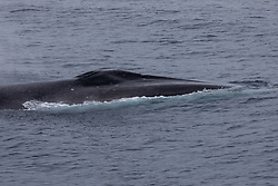 Fin Whale (Also seen are old wounds from cookiecutter sharks)