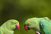 A pair of Parakeets eat from people's hands in Hyde Park, central London on Saturday, April 17, 2021. This weekend marks the day when Prince Philip of Britain was buried in Windsor, England. The Queen announced the death of her beloved husband, His Royal Highness Prince Philip, Duke of Edinburgh who died at age 99. HRH passed away peacefully on April 9th at Windsor Castle after 73 years of marriage to Britain's Queen Elizabeth II. (Photo/ Vudi Xhymshiti)