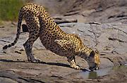 Cheetah drinking on kopje (rock outcroping), Serengeti National Park, Tanzania.