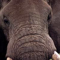 Africa, Kenya, Amboseli. Face of a bull Elephant in musk.
