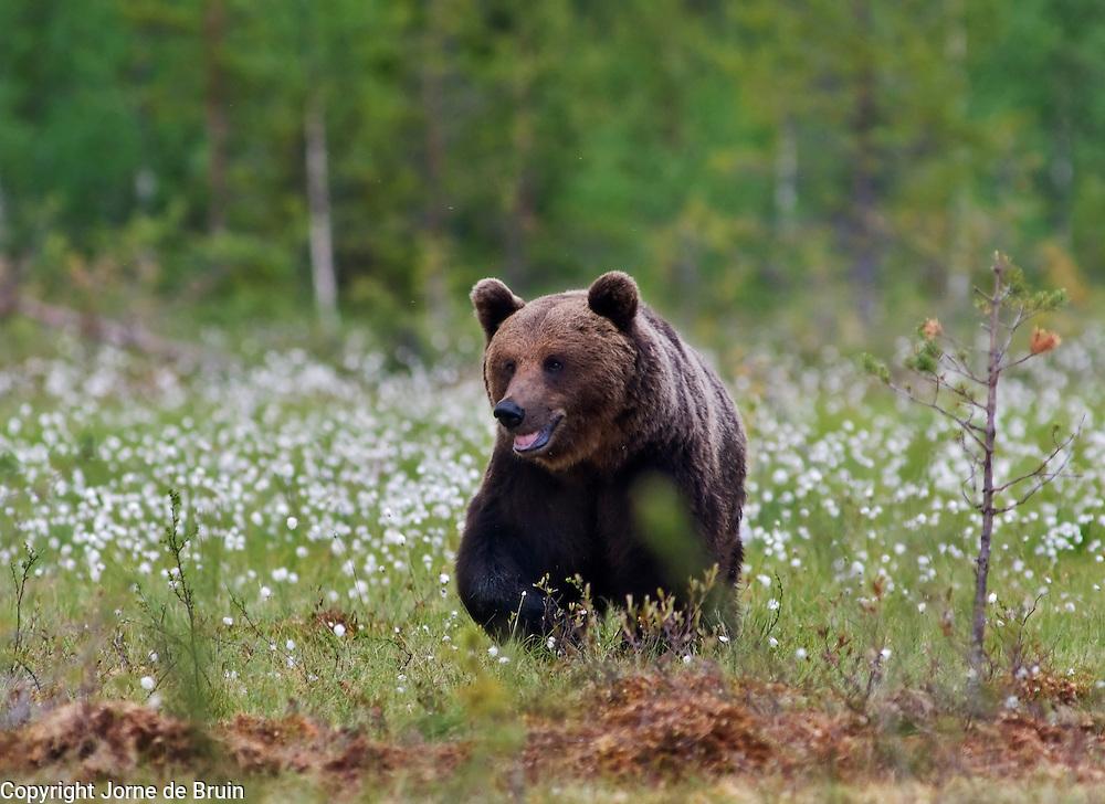An Eurasian Brown Bear walks in a swamp in Finland.