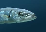 Great Barracuda - Sphyraena barracuda
