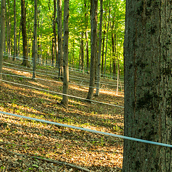 Tubing on sugar maple trees on the Pearl Farm in Loudon, New Hampshire.