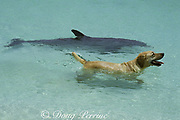 JoJo, a wild sociable bottlenose dolphin, or ambassador dolphin, Tursiops truncatus, plays with dog friend Toffee, a golden labrador, Providenciales ( Provo ), Turks and Caicos Islands ( Western Atlantic Ocean )