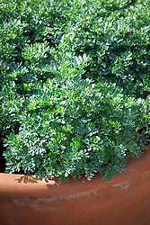 Ruta graveolens in a terracotta pot - Rue, Common rue, Herb-of-grace