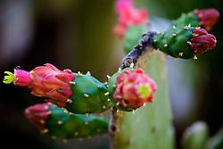 Detalhe da flor de cactos conhecida como Prickly Pear Cactus. FOTO: Jefferson Bernardes/Preview.com