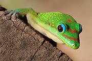 Close-up Madagascar day gecko (Phelsuma madagascariensis madagascariensis)