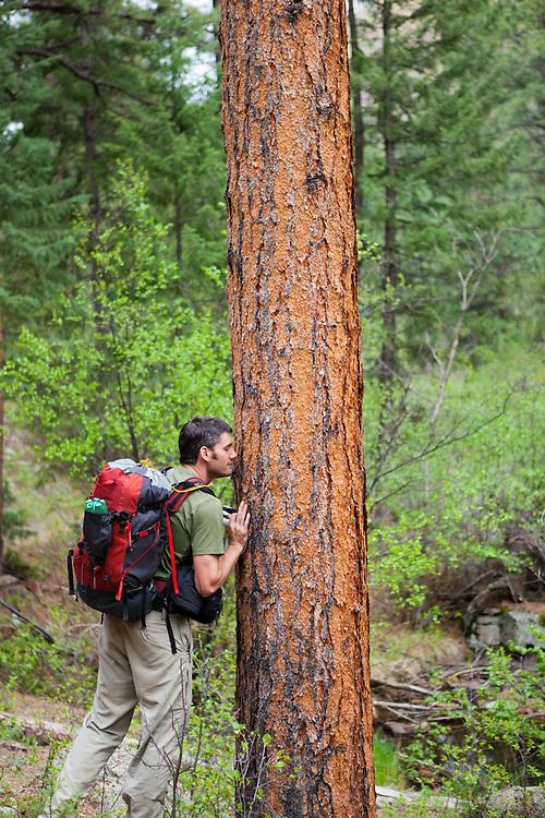 Obadiah Reid stops to smell the fragrant bark of a ponderosa pine (Pinus ponderosa) on the Goose Creek Trail, Lost Creek Wilderness, Colorado.