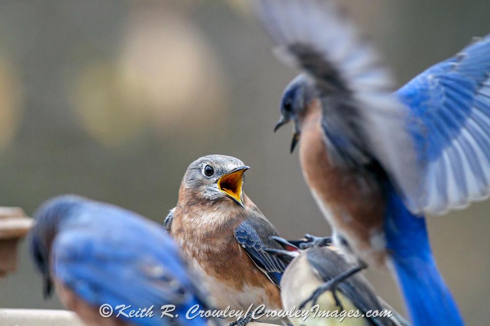 Eastern bluebirds vie for space at a birdbath.