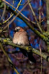 20-01-2019 NED: Birdwatch around your garden, Maarssen<br /> Gaai (Garrulus glandarius)