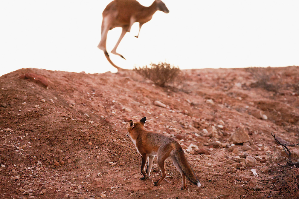 Australia's feral red fox (Vulpes vulpes) is classified as one of the most damaging invasive species in Australia,, Sturt Stony Desert,  New South Wales, Australia