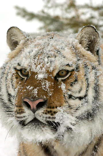 Bengal Tiger (Panthera tigris) Male in snow. Portrait. Winter.  Captive Animal.