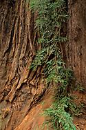 Redwood trunk detail w/ branch, Henry Cowell Redwoods State Park, Felton, Santa Cruz County, California