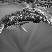 Humpback whale (Megaptera novaeangliae) male calf asleep on top of his resting mother's head