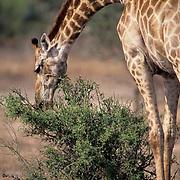 Giraffe, (Giraffe camelopardalis) bending low to browse on vegetation of low bush. Kruger National Park.