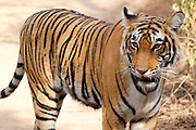 Female Bengal tiger, Panthera tigris tigris, in Ranthambore National Park, Rajasthan, India