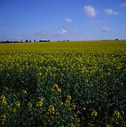 A3AAK4 Yellow flowers of oil seed rape crop in field Suffolk England